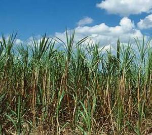 Sugarcane_2