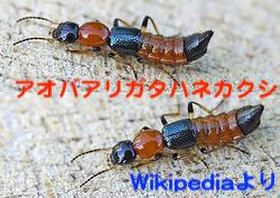 250pxpaederus_littoralis01_3